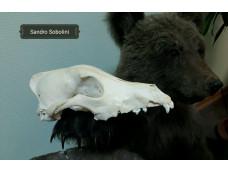 Череп Волка