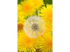 Одуванчик. Листья, цветы, семена