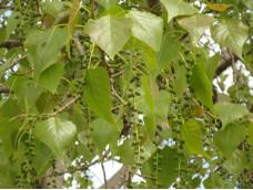 Тополь. Листья и почки